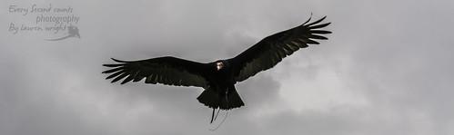 Archer the Turkey Vulture