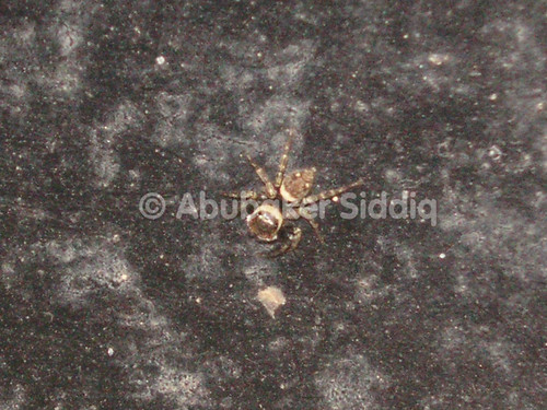 Color changing spider.. Right now brown