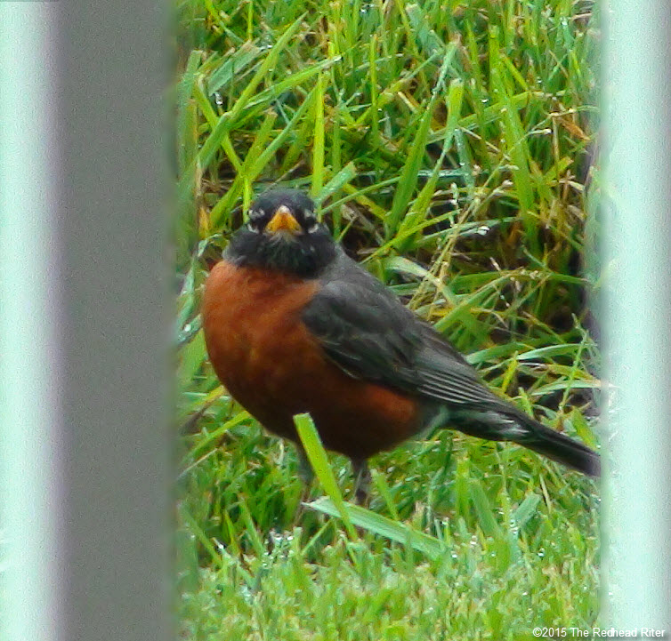 American Robin redbreast bird in grass Birds Of A Feather Flock Together