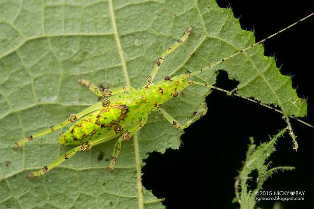 Katydid (Tettigoniidae) - DSC_2904
