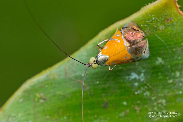 Fairy longhorn moth (Nemophora sp.) - DSC_4100