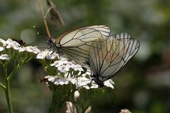 Aporia Crataegi - Gazé copula
