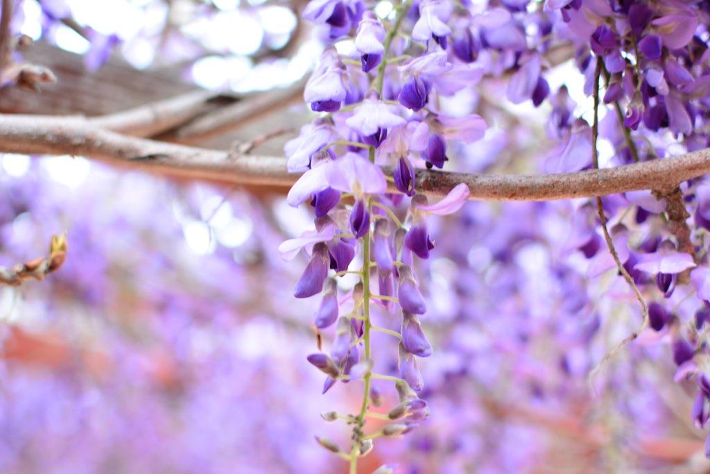 Wisteria Blossoms