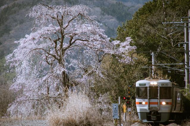 桜と電車 : 身延線辺り