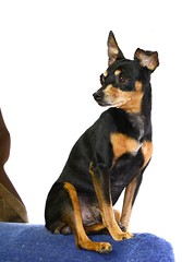 dog breed, animal, dog, german pinscher, manchester terrier, pet, lancashire heeler, mammal, russkiy toy, vulnerable native breeds, miniature pinscher, pinscher, toy manchester terrier, toy fox terrier, english toy terrier,