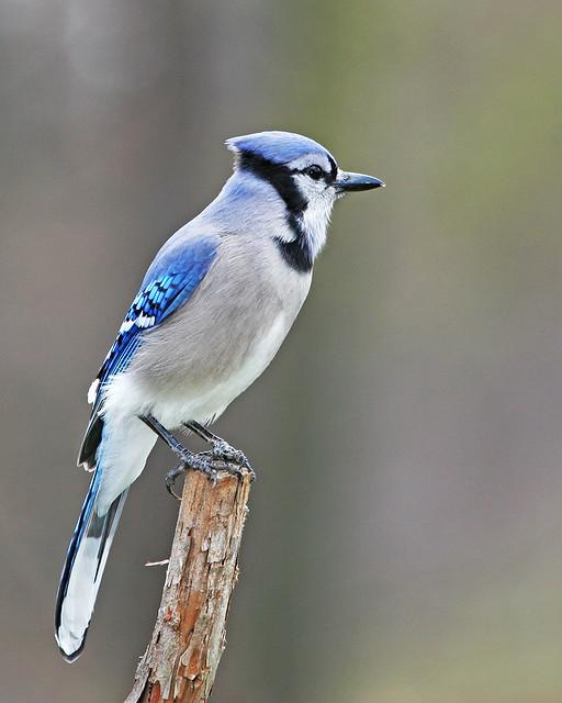 Blue Jay 20d_9527