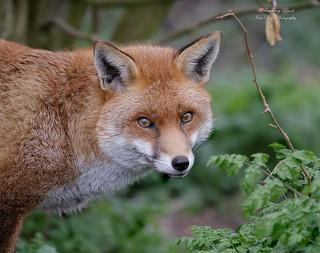 Red Fox - Vulpus Vulpus