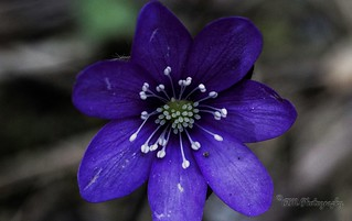 Anemone hepatica - Macro shot on a budget - Spring is in the air