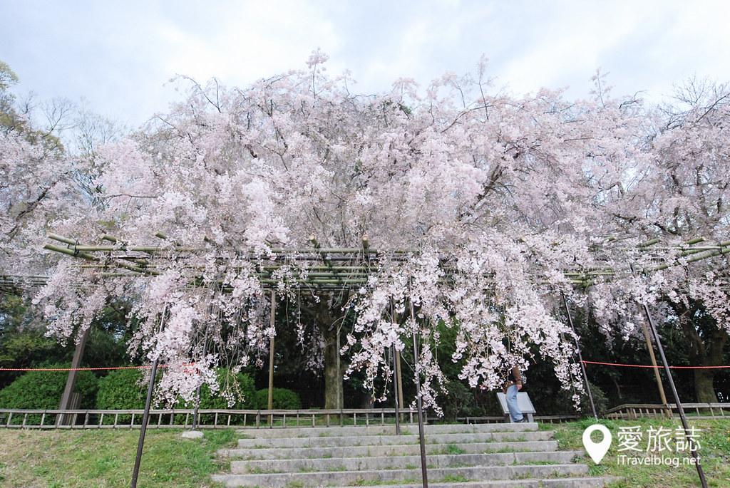 京都赏樱景点 半木之道 08