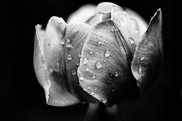 tulips on rainy day