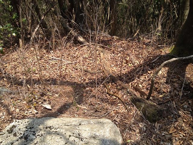 釈迦ヶ岳 中尾根登山道 ヘビ