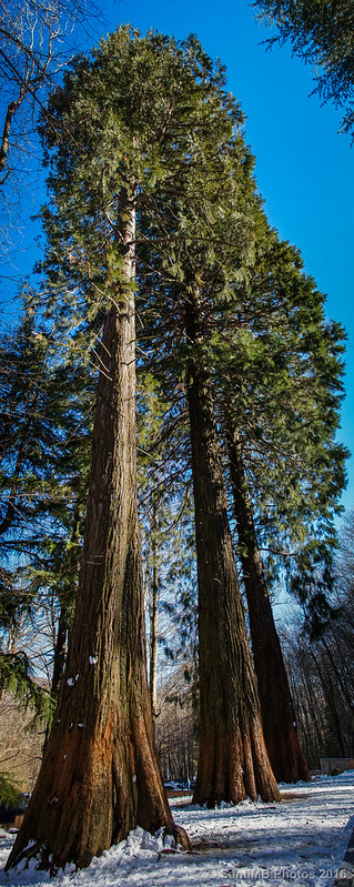 Las sequoias de Can Casades