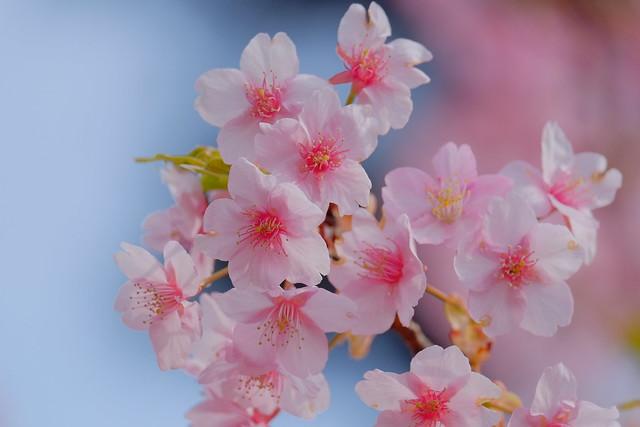 Sakura on blue
