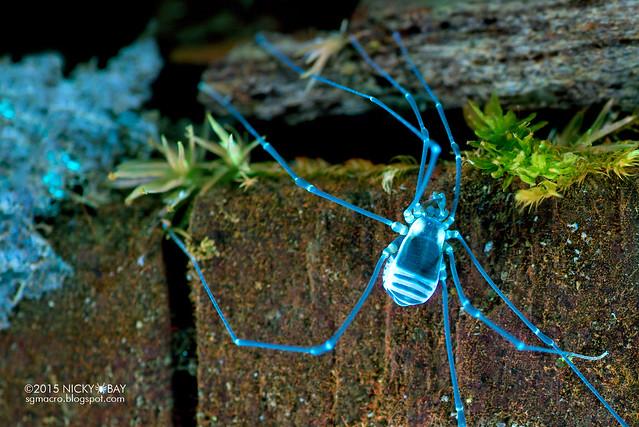 Harvestman under ultraviolet (Opiliones) - DSC_4349b