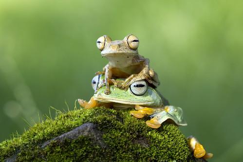 with uncle Javan gliding tree frog