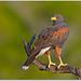 Harris's Hawk by BN Singh