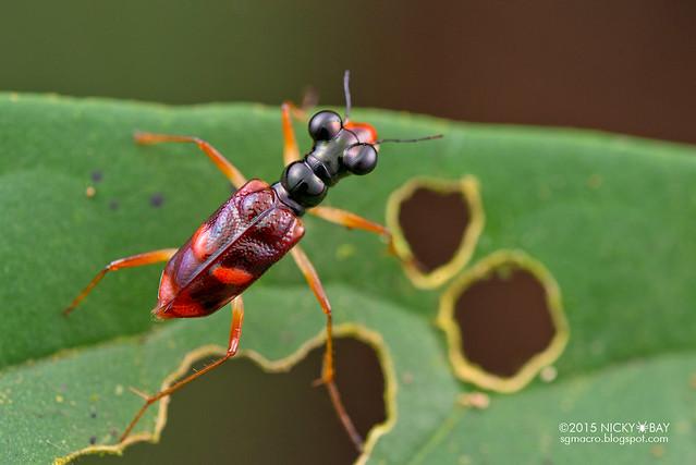 Tiger beetle (Cicindelinae) - DSC_5202