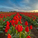 Red Tulips by Chris Ross Photography