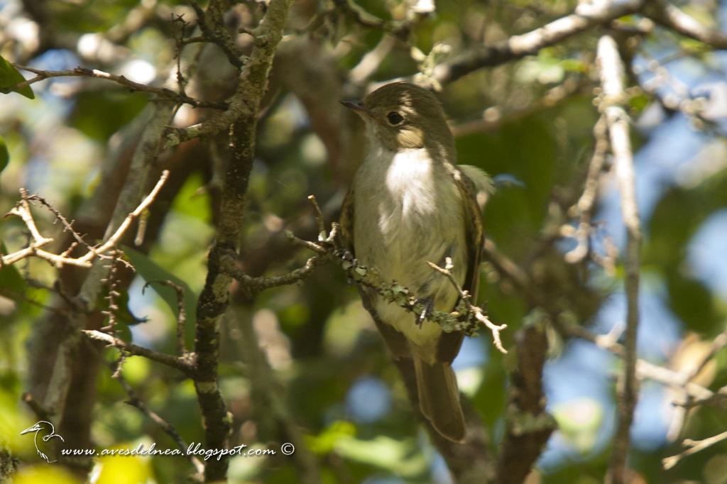 Fiofío pico corto (Small-billed Elaenia) Elaenia parvirostris