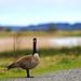 Canada Goose by esteecha