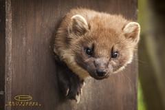 raccoon(0.0), kinkajou(0.0), polecat(0.0), animal(1.0), mustelidae(1.0), mammal(1.0), fauna(1.0), marten(1.0), whiskers(1.0), procyonidae(1.0), wildlife(1.0),