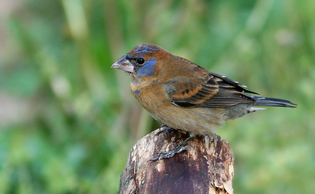 Blue Grosbeak 20d_5688