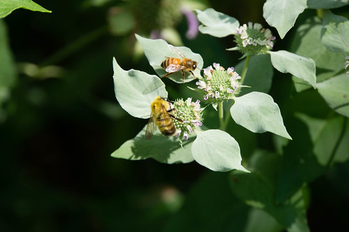 09835 Confusing Bumble Bee on Clustered Mountain Mint