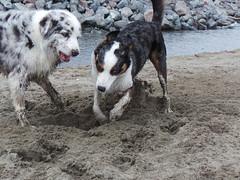 louisiana catahoula leopard dog(0.0), pet(0.0), australian shepherd(0.0), dog breed(1.0), animal(1.0), dog(1.0), street dog(1.0), mammal(1.0),