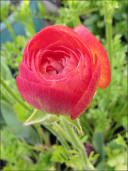 Ranunculus, close up