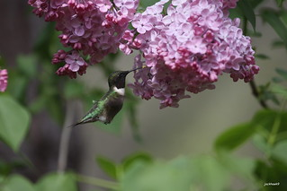 """Ruby throated-Hummingbird"" ""Archilochus colubris"""