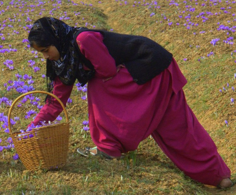 A saffron farmer family at work in Pampore