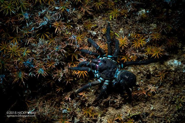 Black armored trapdoor spider (Liphistius malayanus) - DSC_6749