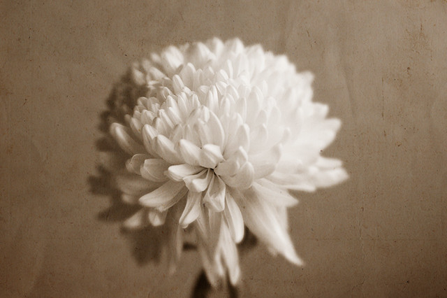 Chrisanthemum flower, paper texture #chrisanthemum #flower