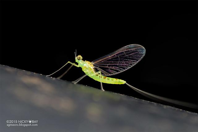Mayfly (Ephemeroptera) - DSC_3820