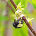 2015 Mar 22 Yellow-faced Bumble Bee 3805 by digitalmarbles