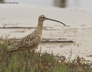 Long-billed Curlew IMG_4820edtsg