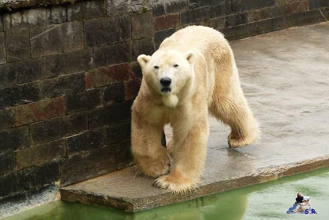 Eisbär Fiete Zoo Rostock 31.03.2015  59