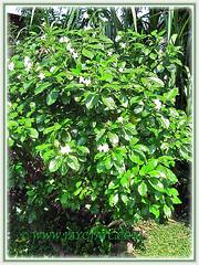 Tabernaemontana divaricata shrub (Pinwheel Flower, Milk Flower), June 7 2013