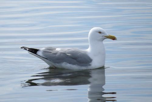 Herring Gull, Gully