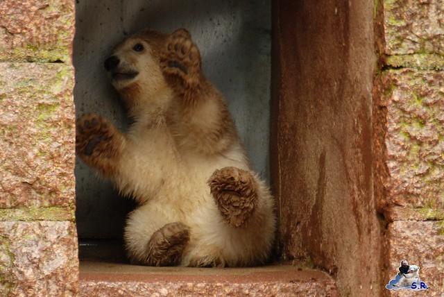 Eisbär Taufe Fiete Zoo Rostock 31.03.21015 64