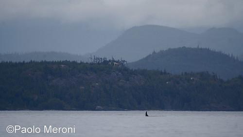 Killer whale ( orcinus orca)