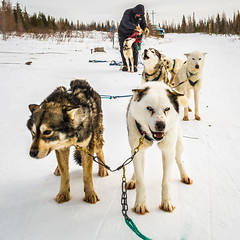 animal, dog, winter, vehicle, snow, mammal, mushing, greenland dog, sled dog racing, sled dog,