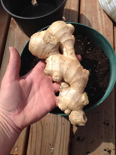 Ginger experiment day 1.