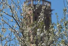 Cerisier à Rieux-Volvestre