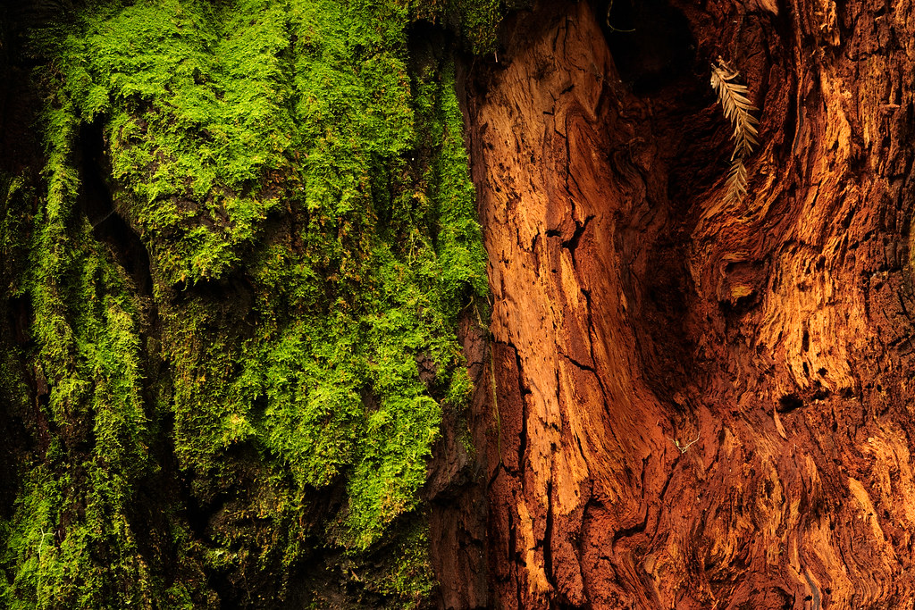 A close up view of a large redwood tree on the Simpson-Reed Trail in Jedediah Smith Redwoods State Park, the left half showing moss-covered bark with the right half showing the exposed red pulp