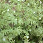 Ellisia nyctelea