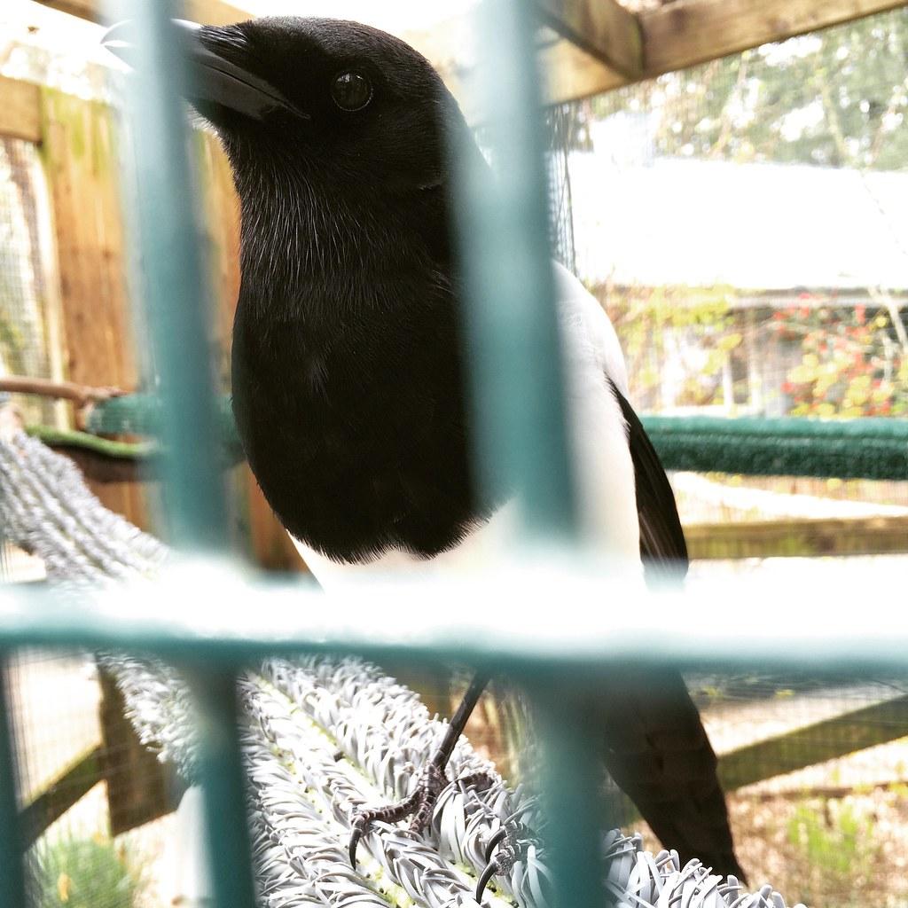 Miri the Magpie
