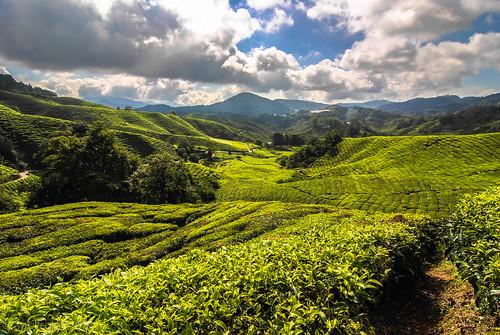 green tea malaysia plantation