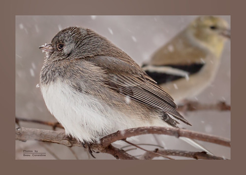 Plump Slate Colored Junco with Goldfinch-Edit