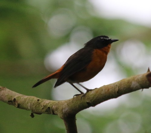 Cossypha isabellae isabellae (Mountain Robin-Chat)